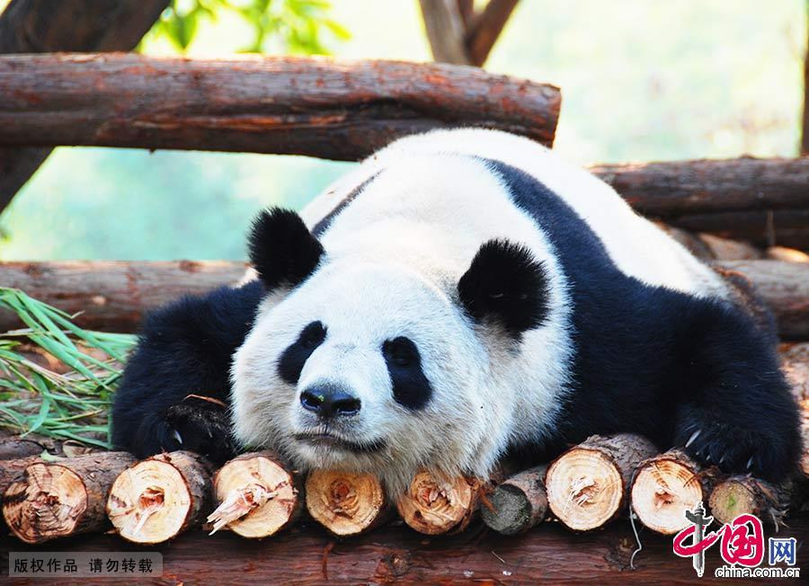 四川大熊猫栖息地拥有丰富的植被种类,是全球最大最完整的大熊猫栖息地,全球30%以上的野生大熊猫栖息于此。