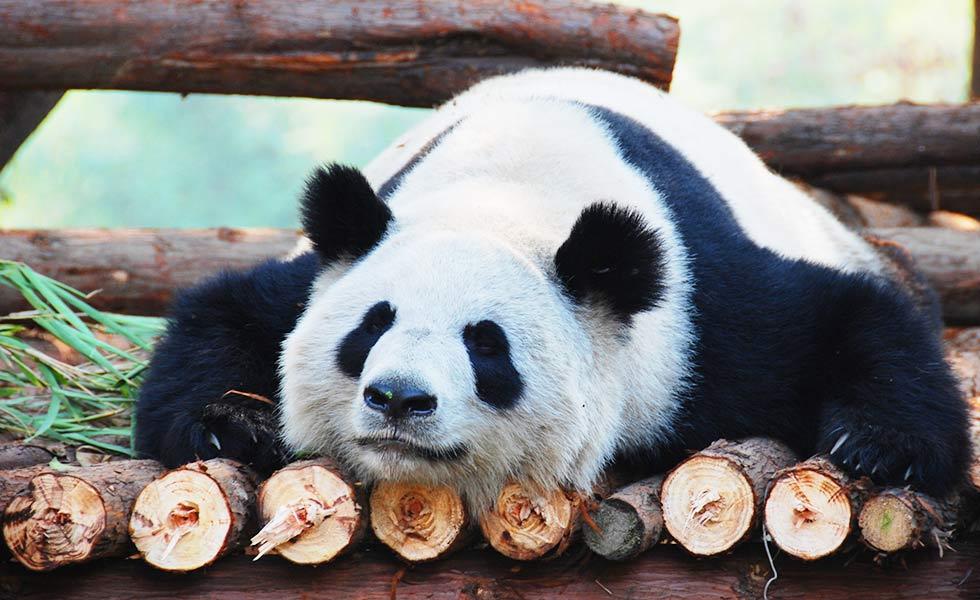 【世遺】四川大熊貓棲息地 全球最大熊貓棲息地