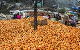 山区柿子竟只卖两毛一斤