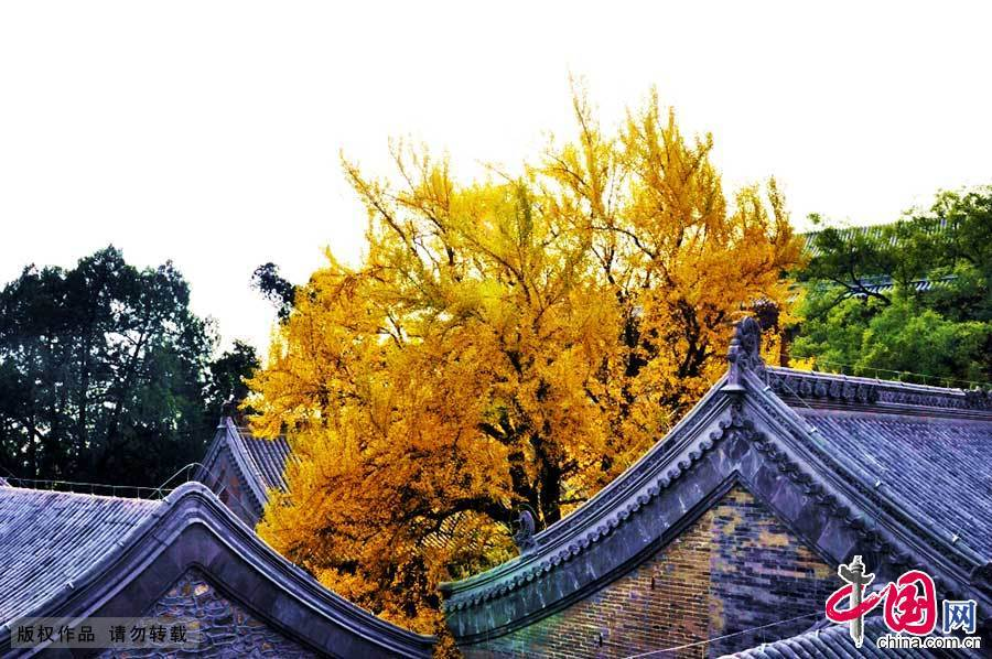 银杏 秋季 八大处 北京 古银杏 105286