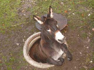 瑞士驴子逃离动物园被卡下水井