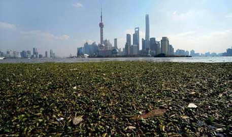 上海外滩黄浦江江面铺满水葫芦