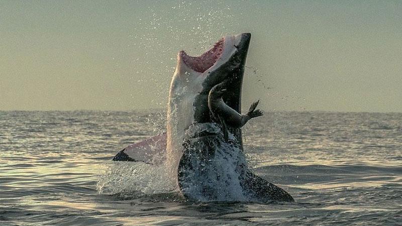 水下摄影师拍摄海豹鲨口脱身惊魂瞬间