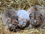 母狮一胎生3只宝贝 罕见出现一头小白狮