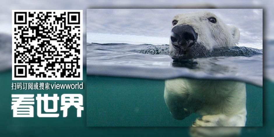 摄影师记录北极熊学习长距离游泳过程[组图]