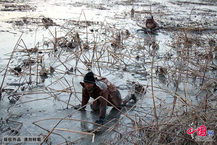 冬日冰湖里的挖藕人