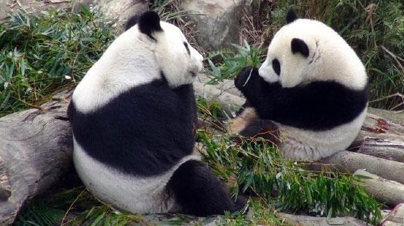 """大熊猫""""圆仔""""学习独立生活"""
