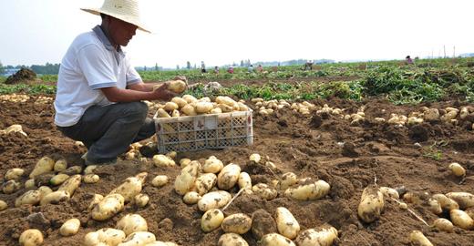 中國24小時:馬鈴薯有望成為我國第四大主糧
