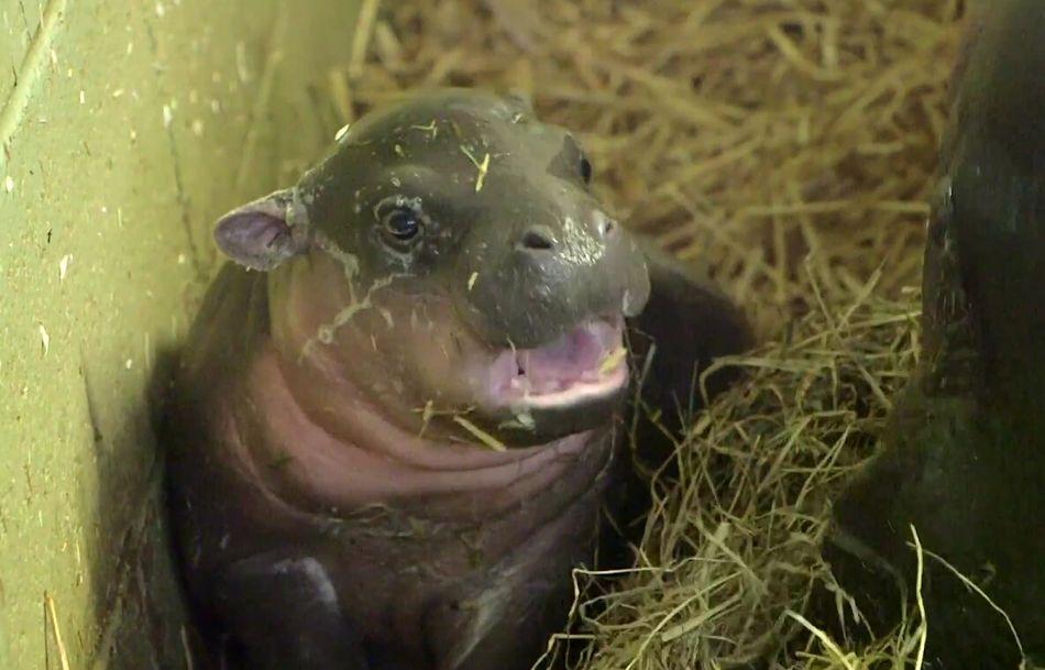 伦敦动物园的管理员们迎来了迟到的圣诞礼物—一只倭河马幼崽在节礼日
