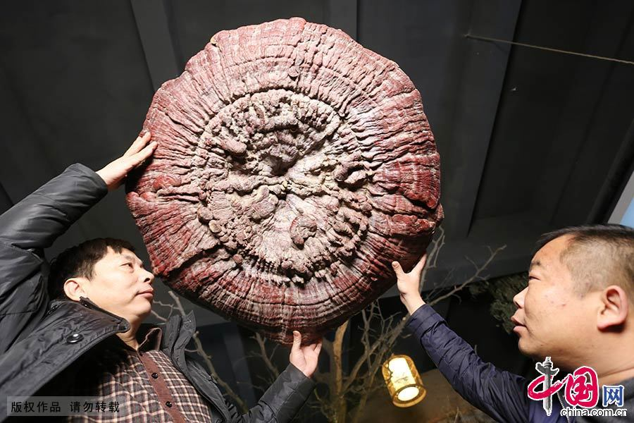 1月19日,两棵伞状的巨型灵芝亮相郑州。两棵灵芝的直径达到1.2米和1.5米,重达10公斤和12公斤,其中的一棵灵芝上新生长了许多小灵芝。中国网图片库 楚韵/摄