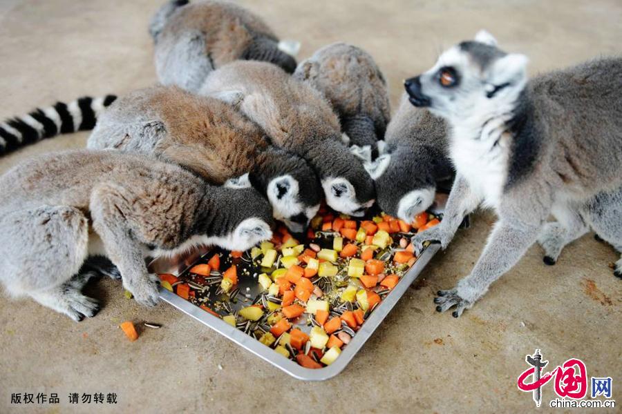 2015年1月27日,山东青岛森林野生动物世界的环尾狐猴在吃饲养员准备的