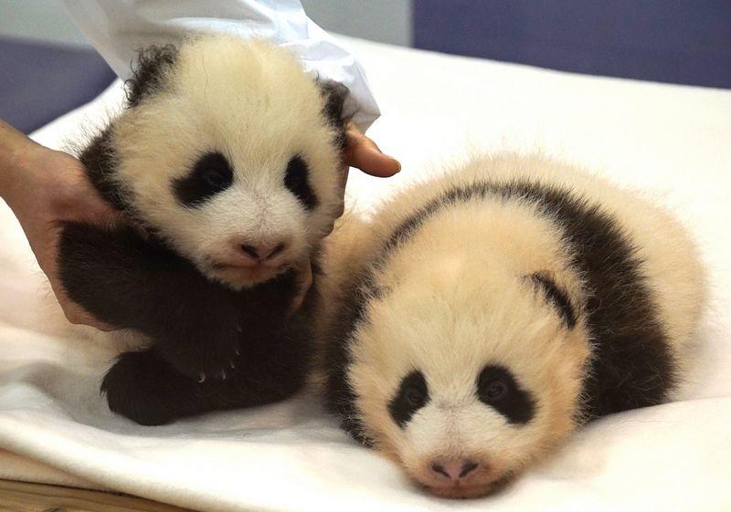 """信息中心 日本出生的熊猫幼崽被命名为""""香香""""   小熊猫的幼崽刚出生是"""