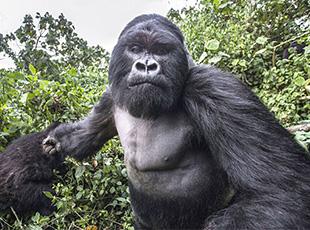 摄影师拍摄猩猩被其攻击