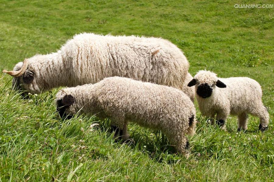 羊年瓦莱黑鼻羊走红 黑脸萌照惹人爱