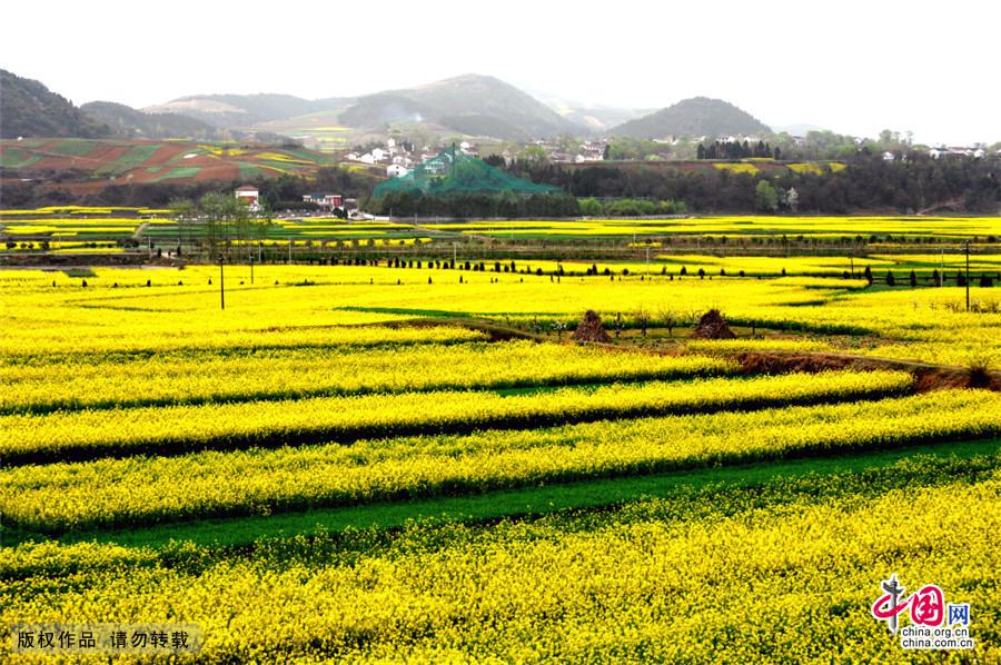 汉中盆地是油菜花的故乡,油菜花的天堂。每年花开时节,犹如一片黄色海洋。百万亩同时怒放,天地之间,浮光跃金直把汉中装缀成一只巨大的山水盆景,是中国最秀美的山水风光之一。中国网图片库 董年龙/摄