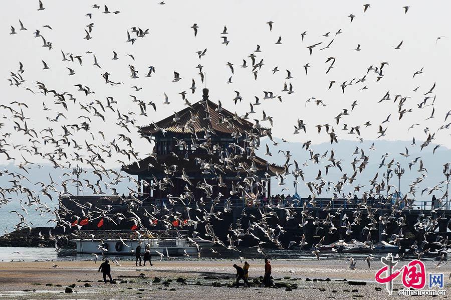 2015年3月10日,山东省青岛市栈桥附近的海鸥开始大密度集结巡游,为即将飞回西伯利亚做着迁徙前的准备。中国网图片库 王海滨/摄