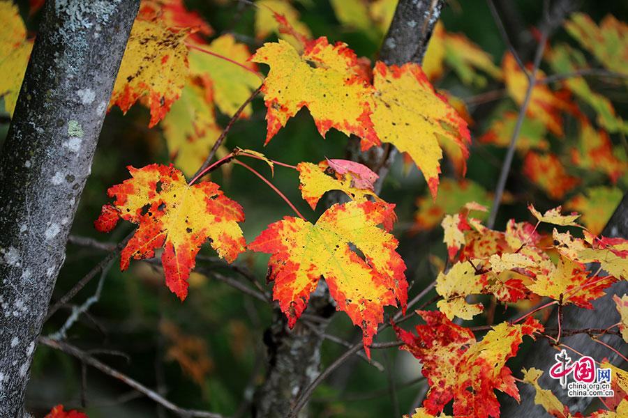 秋色加浓(十三)枫国秋叶的姿态