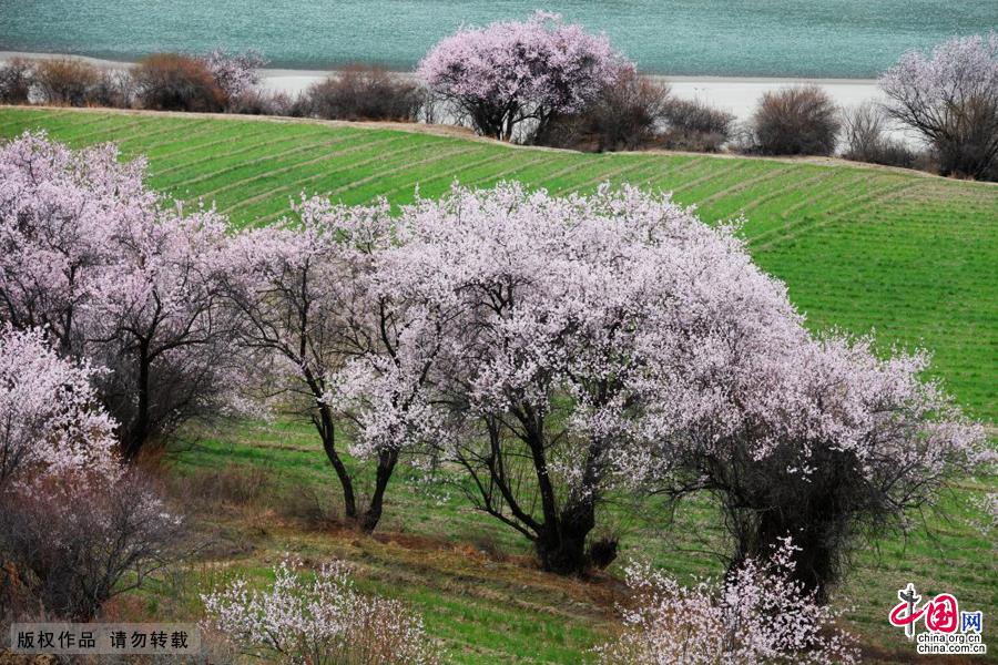 每到三月四月间,西藏林芝大地桃花争艳,宛如花海。中国网图片库 韩加君/摄