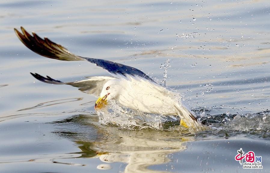 大地回春,春暖花开,随着天气转暖,海鸥觅食美不胜收的千姿百态被相机详细记录下来。大批海鸥飞在作业的渔船旁,追逐渔民丢弃的小鱼虾。中国网图片库 丁卫/摄