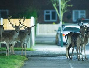 英国居民区半夜惊现鹿群觅草吃