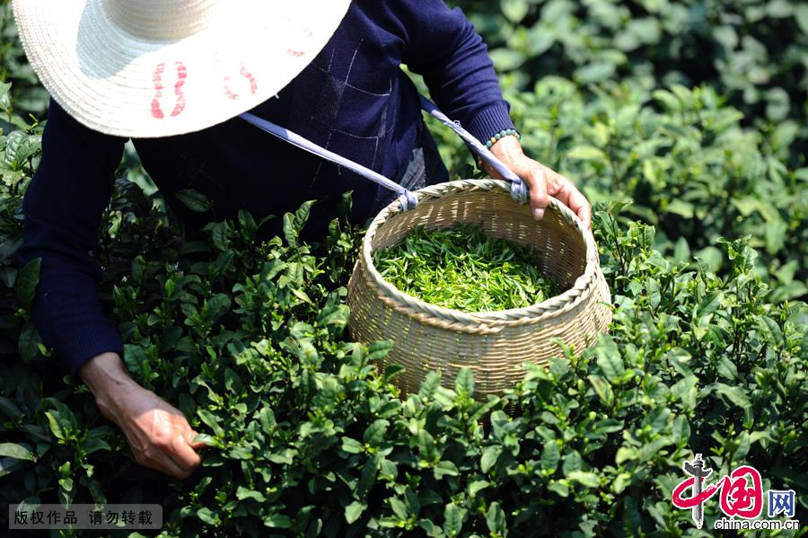 龙门坎村有茶园1600多亩,品种以龙井43和群体种为主。今年的清明节前,天气晴好,茶园里一片翠绿,新芽已经冒出,茶农们纷纷上山开采,抓住着转瞬即逝的采茶良机。