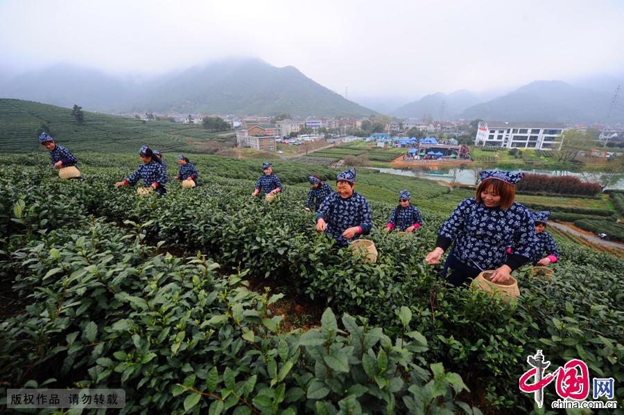 在村里,每年到了这个时节就是采茶的高峰期,大家都赶在清明节前尽量多的把采下来的茶叶炒好,那么在接下来的日子里,茶叶能卖个好价钱。