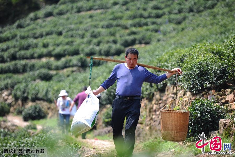 干完一波,茶农会用扁担把采茶工手边的新茶全部收拢,挑下山,进行晾晒。