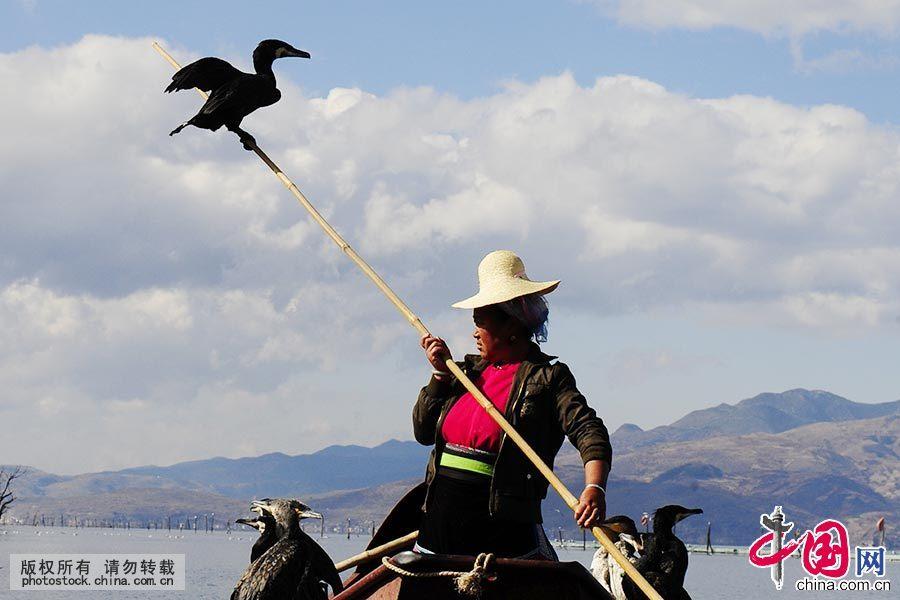 大理鱼鹰因渔民驯养有方,被培养成最通人性的鱼鹰,在主人优美的歌声引领下,鱼鹰学名叫鸬鹚,本是野生鸟类,经渔民驯化后成为捕鱼的好手。 中国网图片库 贾云龙/摄