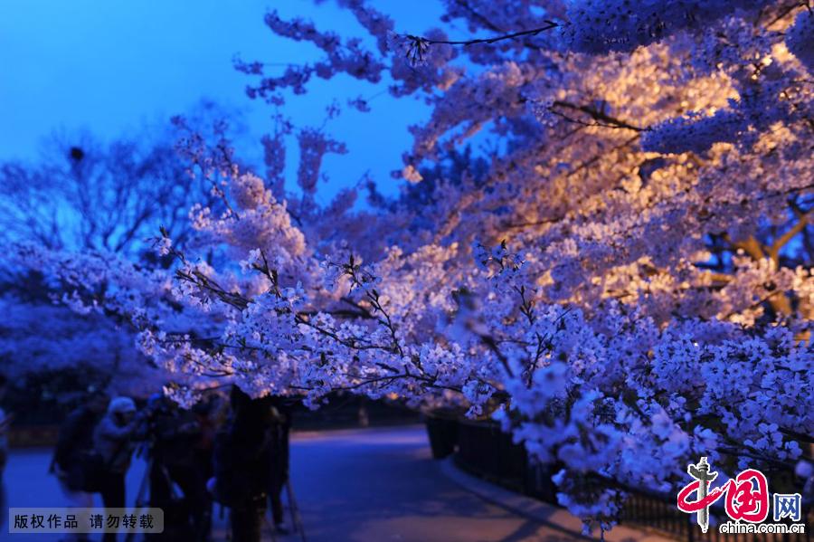 摄影爱好者在夜幕下拍摄夜景樱花。中国网图片库 王海滨摄