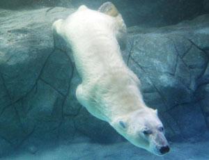 北极熊巴西撒欢 雪地奔腾水中畅游