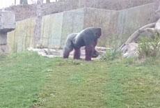 美国一大猩猩打坏防护玻璃