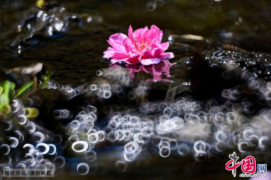 春时节的一条小溪中,桃花以另外一种形式构成唯美的景象。中国网图片库 王海滨摄