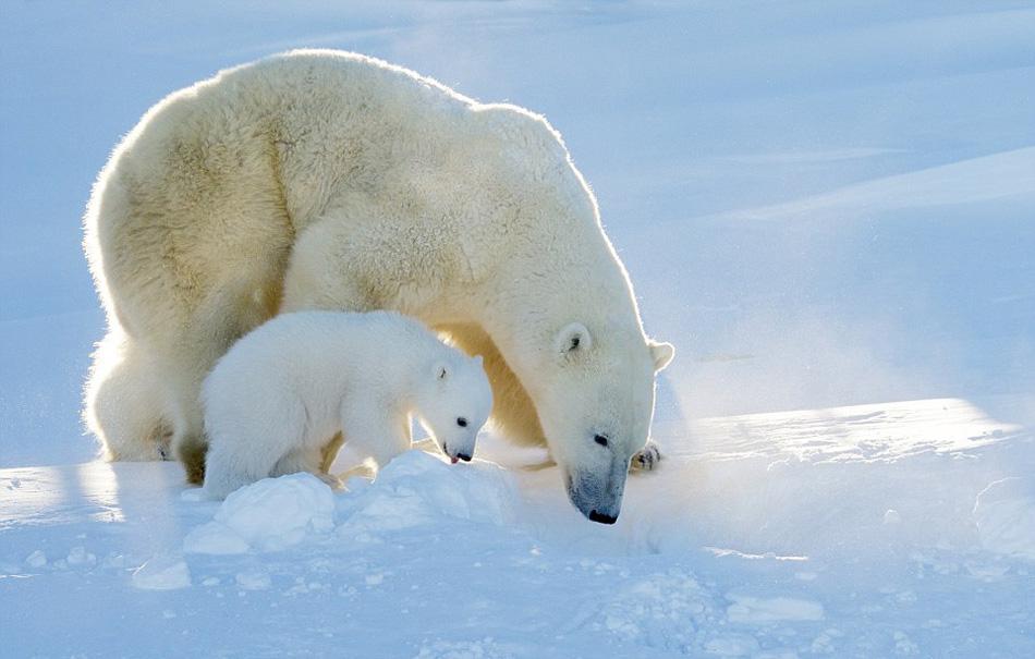欧美幼幼人体写真_摄影师拍北极熊幼崽首次下海捕鱼[组图]