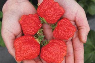 草莓畸形膨大会致癌?