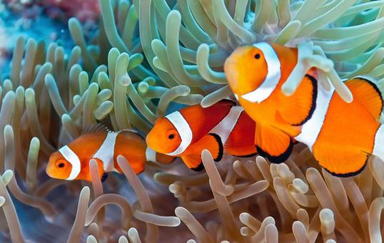 啊呀呀海洋王国 为什麽小丑鱼是海葵的好朋友