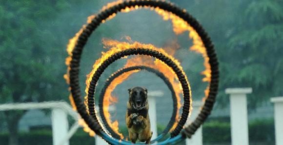 貴州警犬基地舉辦開放日活動 警犬展示多項技能