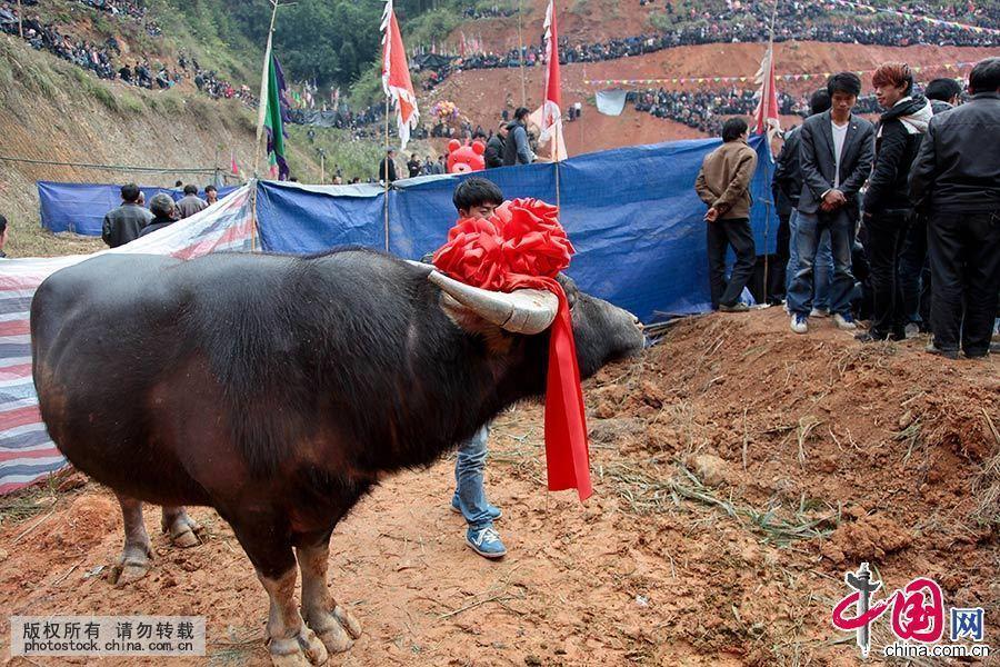 """""""斗牛""""通常称为""""牛打架"""",是一种民间自发组织的活动,它源于苗族远古时期,据说最初是牧童放牧,闲着无聊,用各自的牛相斗取乐,后逐渐发展成固定的用来取乐的打斗模式,最后就演变成了现在的""""斗牛节""""。中国网图片库 张晖 摄"""