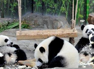 熊猫三胞胎广州过周岁生日