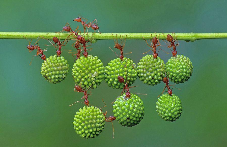 蚂蚁搬运展现团队超能力量图片