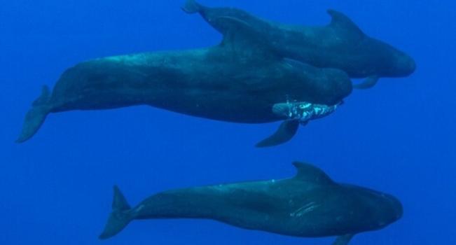 鯨魚爸爸口銜死去的幼崽為其哀悼 兩頭雌鯨魚護送