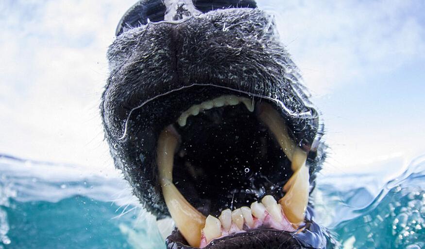 相機 北極熊 食物 牙齒 拍攝 北極圈 每日郵報 食用 野生動物 Souders