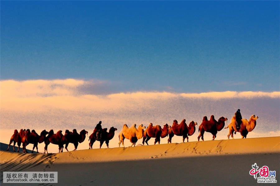 2015年10月2日,内蒙阿拉善盟,额济纳八大桥沙漠驼影。中国网图片库 何东平 摄