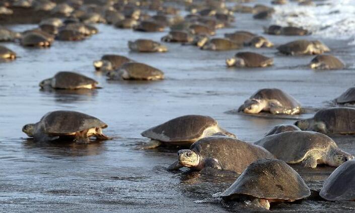 产卵 哥斯达黎加 海滩 海龟 数十万