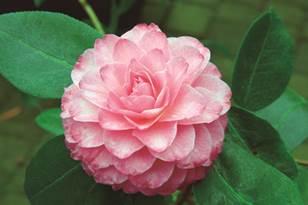 1512-新品-茶花新品种-'洱海珍珠'.jpg