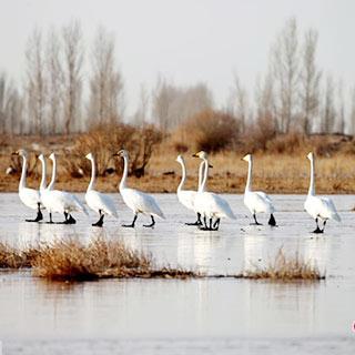 张掖黑河湿地成候鸟中转驿站 众鸟翔集场面壮观[组图]