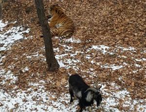俄动物园山羊与老虎一起散步 同吃同住