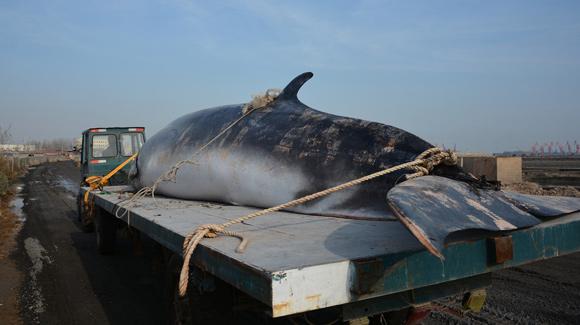 日照渔民出海遇死亡鲸鱼