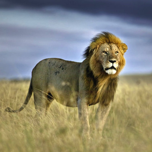 野生动物自然之美:草原之王or园中大猫?