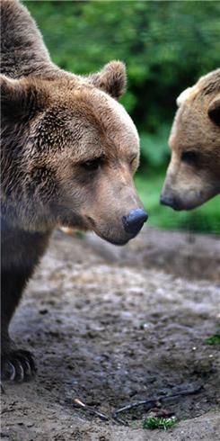 野生动物自然之美:湖边漫步的熊一家