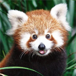 鞍子河野生动物之美:小熊猫雪地寻宝
